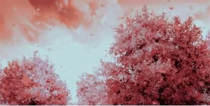 Cherry Blossom Anime Sakura Gifs Blossoms Flowers