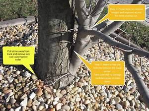 When To Remove Maple Tree Sucker