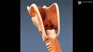Human Larynx - Anatomy 3D Model From CreativeCrash.com ...