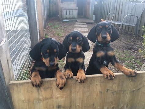 reinrassige malinois welpen belgische schaeferhunde