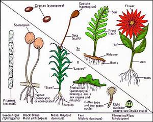 Difference Between Gametophyte And Sporophyte