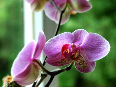 arrosage orchidee en pot orchid 233 e entretien rempotage culture arrosage
