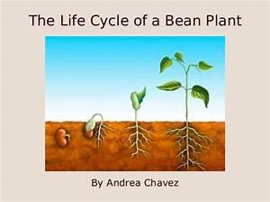 U0026quot The Life Cycle Of A Bean Plant U0026quot
