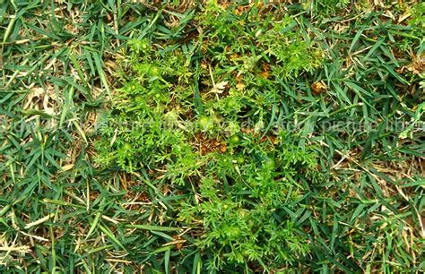 lawn weeds lawn weed bindii soliva pterosperma