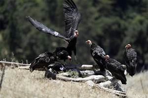 Slideshow  California Condor Takes Flight In Wild After