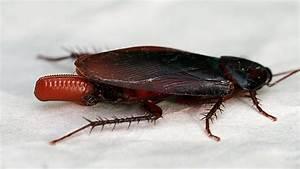 Comment Éliminer Les Cafards : comment trouver les ufs de cafards dans votre maison ~ Melissatoandfro.com Idées de Décoration