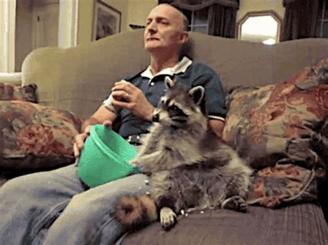raccoons as pets proof that pet raccoons make strange but wonderful pets