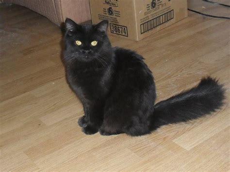 chat persan noir la mue du chat