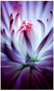 Purple flower 4K Wallpapers | HD Wallpapers | ID #19634