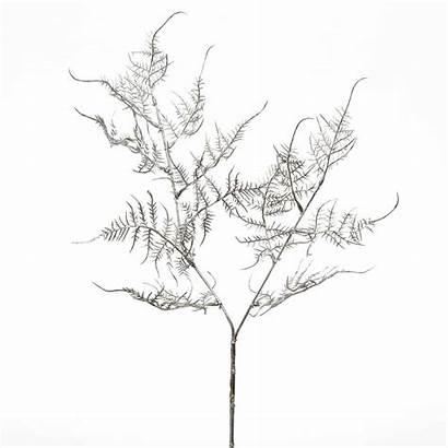Asparagus Fern Drawing Line Silver Getdrawings Si