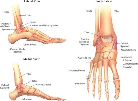 Ankle and Foot Injuries - Trauma - Harwood-Nuss' Clinical ...