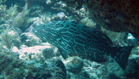 grouper mycteroperca bonaci florida bruteforce adventures bermuda