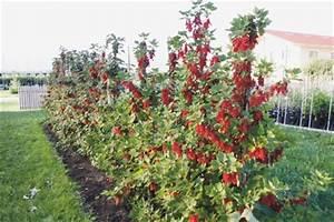 Rote Johannisbeeren Hochstamm Schneiden : rote und wei e johannisbeeren als spindel erziehen ~ Lizthompson.info Haus und Dekorationen