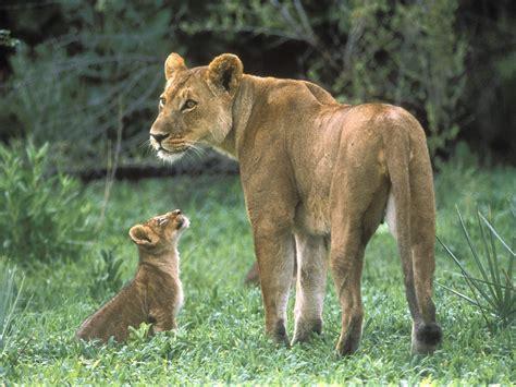 Animal Cubs Wallpapers - animals cubs wallpaper 1600x1200 wallpoper 409656