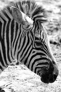 Schwarz Weiß Bilder Tiere : schwarz wei dandelionia ~ Markanthonyermac.com Haus und Dekorationen