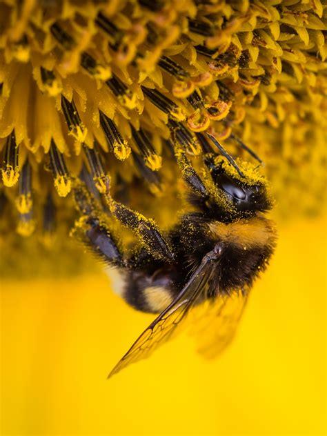 wallpaper bee sunflower bee pollen  animals