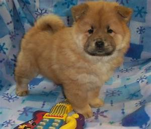 Chow Chow Puppies for free adoption Animals We are proud ...