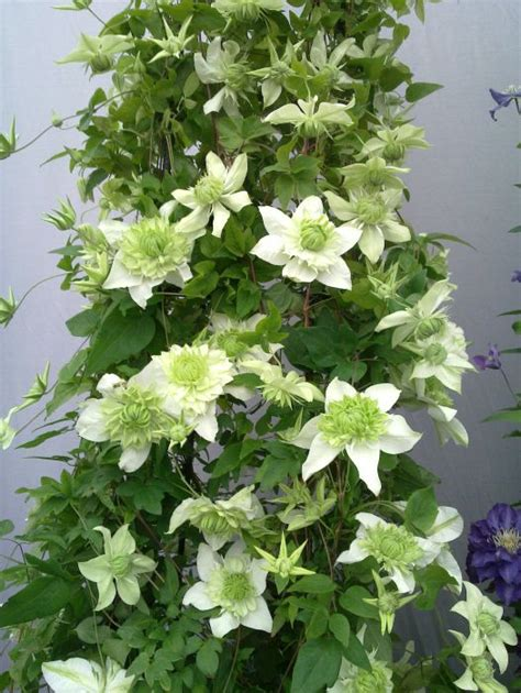 Clematis Florida Plena Mature & Hardy 2 Year Old Plants, 2