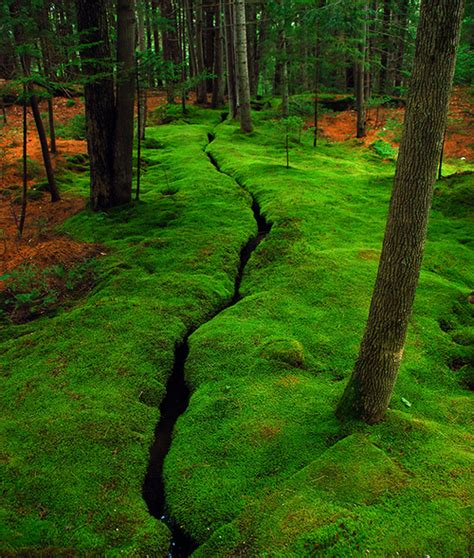 how to grow sheet moss carpet mosses plants for sale online lowest prices
