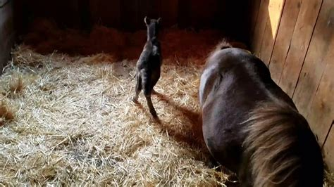 newborn horse baby miniature filly