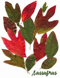 Sassafras Images, Photos and Facts WunderWoods