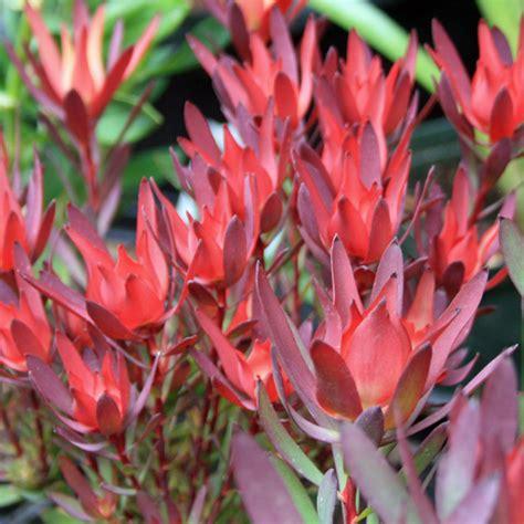 heirloom seeds australian seed leucadendron salignum