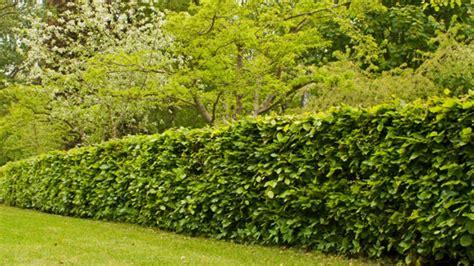 Die Hecke Natuerlicher Zaun Und Sichtschutz sichtschutz f 252 r den garten infos und ratgeber obi