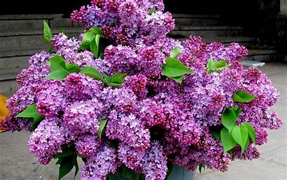 Lilac Lilacs Purple Flowers Bouquet Bucket Spring