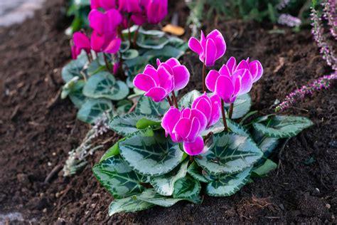 Ko audzēt tematiskajā Alpu dobē? Dārza ekspertu padomi un foto, kā izskatās šie augi - Jauns.lv