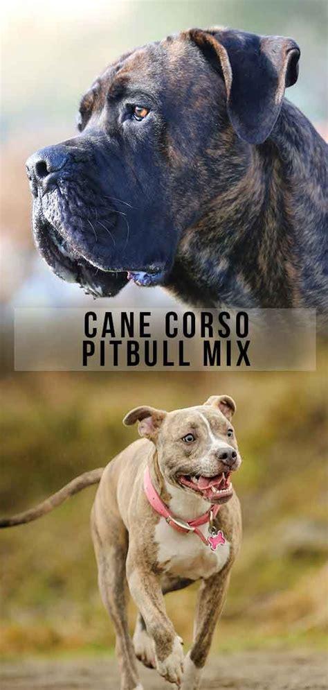 cane corso pitbull mix