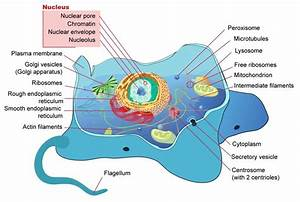 Draw Well Labelled Diagram Of A Eukaryotic Nucleus How Is