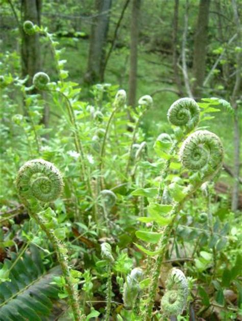 fiddlehead ferns the sketchbook challenge ammonites and fiddlehead ferns