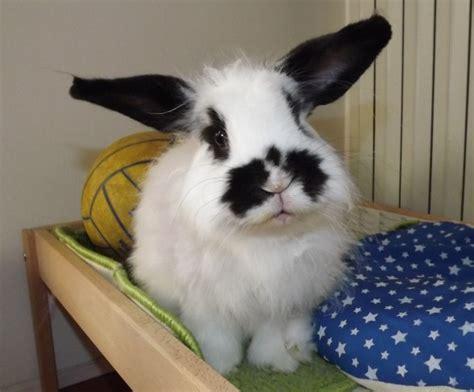 conigli  casa cosa fare se il coniglio  arrabbiato