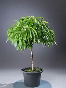 Pflanzen Günstig Kaufen : zwergpfirsich pfirsichbaum in zwergform g nstig online kaufen ~ A.2002-acura-tl-radio.info Haus und Dekorationen