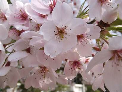 Blossoms Flowers Cherry Wallpapers Cherries Definition Updated