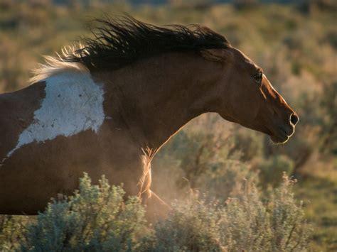horses wild mustang mustangs horse running opb cycle mini field espagnol