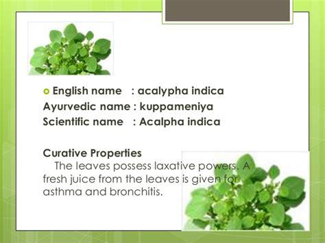 mosquito plant scientific name herbal plant presentation