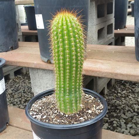 Trichocereus terscheckii - Argentine Saguaro Cactus - Mid ...