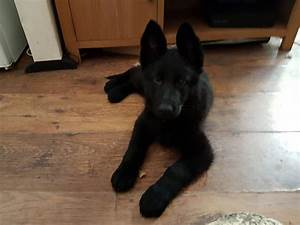 Beautiful Black German shepherd puppies | London, East ...