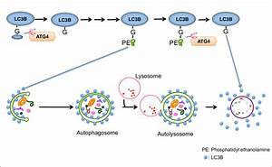 Lc3b Is The Marker For The Activity Of Autophagy
