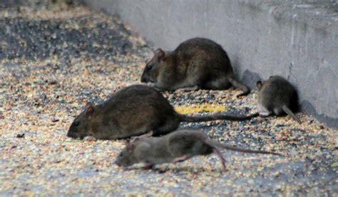 les rats sont d excellents recyclleurs