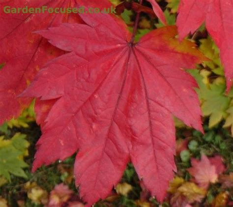 growing japanese maples in containers in the uk