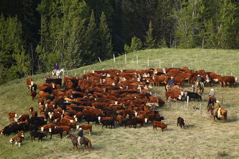 livestock cattle surge  contract highs  higher