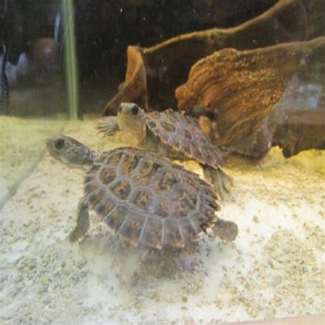 heat ls for baby turtles northern snapping turtles in melbourne amazing