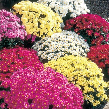 Franklin County (PA) Gardeners: Mums the Word