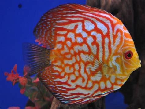 discus fish types care size lifespan tankmatesbreeding