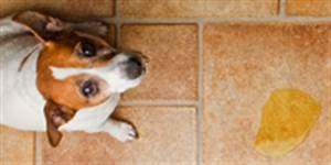 urinary incontinence in the female dog part 3