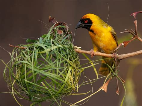 southern masked weaver photo bird wallpaper national