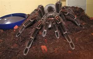 World's Biggest Spider ever Seen ~ MyClipta