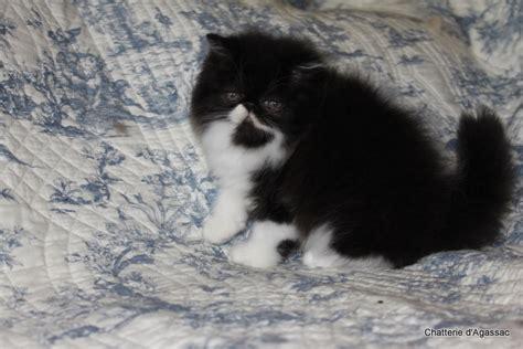 chat persan noir chatterie agassac galerie photos chats persans